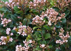 Indian Hawthorn - great shrubs for front yard landscaping. Low Maintenance Landscaping, Low Maintenance Plants, Garden Yard Ideas, Lawn And Garden, Garden Bed, Garden Paths, Landscaping Plants, Front Yard Landscaping, Landscaping Ideas