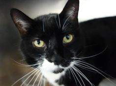 URGENT! 7 year old MIDNIGHT needs out of NYCACC NOW!!! ON THE WED. 6/5/13 NYCACC EUTHANASIA LIST!!! Manhattan Center  My name is MIDNIGHT. My Animal ID # is A0965992. I am a spayed female black and white domestic sh mix. The shelter thinks I am about 7 YEARS old.  I came in the shelter as a OWNER SUR on 05/20/2013 from NY 10026, owner surrender reason stated was ALLERGIES. I came in with Group/Litter #13-138073.