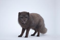 Blue phase arctic fox smiling for the camera in Hornstrandir Nature Reserve. Fox In Snow, Arctic Fox, Red Fox, Nature Reserve, Antarctica, Foxes, Iceland, Hermione, Repeat