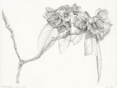 This is one of my Rhododendron graphite works generated from my Nepal travels exploring and drawing the wildlife and nature of the Annapurna Region Botanical Drawings, Botanical Art, Drawing Skills, Drawing Sketches, Graphite Drawings, Pencil Drawings, Nature Drawing, Creepy Art, Black Tattoos