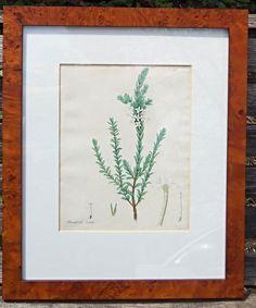 H C Andrews Framed Botanical Plate 1800 Struthiola ovata  #Antique