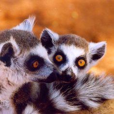 Katta Lemuren Madagaskar #madagascar #madagaskar #lemuren #katta #tierwelt #primaten #travelphotography #traveladdict #traveltheworld #travelgram #taipantouristik #taipan_madagaskar