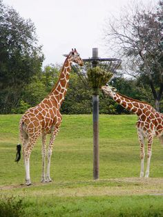 Feeding Giraffe at Busch Gardens in Tampa,Fl. Quality Prints Available.