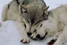A pair of lovely wolves