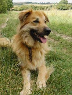 136 Best Shepherd Mixes Images Doggies Dogs Pet Dogs