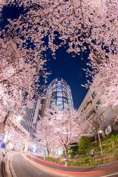 Cherry Blossom, Roppongi, Tokyo, Japan 六本木さくら坂  #桜 #CherryBlossom