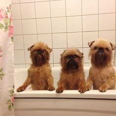 PHOTO OP: At the Ewok Day Spa Fact: If you want a dog that looks like an Ewok, the Brussels Griffon is the breed for you. Via sunita_b.