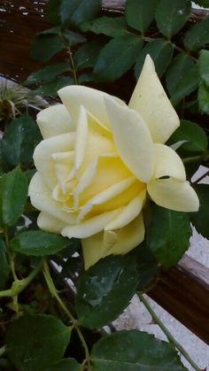 Rosa gialla ... Dal mio giardino