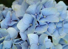 """Blue Over You"" hydrangrea  -  #flower #garden"