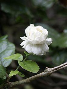 Arabian Jasmine: Jasminum sambac 'Grand Duke of Tuscany' [Family: Oleaceae] Flowers Nature, Exotic Flowers, Tropical Flowers, White Flowers, Beautiful Flowers, Gardenias, Plante Jasmin, Jasmine Tattoo, Arabian Jasmine