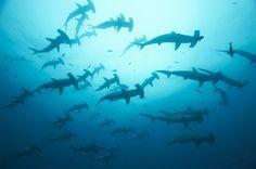 A school of hammerhead sharks, Galapagos Archipelago