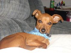 funny cute dog pictures chihauhau italian greyhound mix | ... bay watchvykgvsfpiao cached italian greyhound chihuahua mix for sale