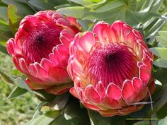 Proteas (flower) [PHOTOS] [Archive] - The Apricity Forum: A European Cultural Community Protea Art, Protea Flower, Types Of Flowers, Wild Flowers, Exotic Flowers, Beautiful Flowers, Nature Photography Flowers, Flower Names, Special Flowers