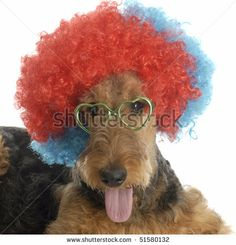 stock photo : airedale terrier wearing colorful clown wig and heart shaped glasses on white background