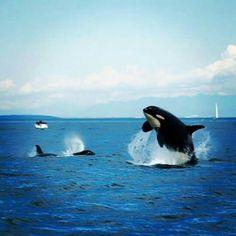 www.pegasebuzz.com | Orca, orque, black fish, killer whale.