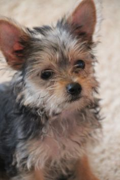 I just want my small doggie... #chorkie