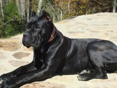 Cane Corso Puppies, Available Cane Corso Puppies - Cane Corso breeder in Tennesee breeding for health, temperament and type using only OFA or Pennhip certified Cane Corsos. Cane Corso Mastiff, Cane Corso Kennel, Cane Corso Italian Mastiff, Cane Corso Dog, Cane Corso Puppies, Mastiff Dogs, Huge Dogs, Giant Dogs, Weimaraner
