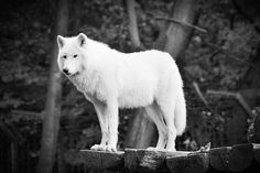 White Wolf Black and White pic