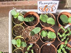 Grow your own pumpkins from seed - spring activity to do with the kids