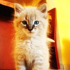 El kimo baby #kimo #cat #gato #gatito #cute #hermoso #boladepelos #mascota #furry #loveit #pet #ilovefashion #gitino #gatini