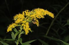 Solidago canadensis - imported from the fields surrounding us. NOT AN ALLERGEN! In the big bed.