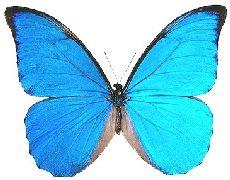 Seda-azul, cocovado, azulão (Morpho anaxibia)    É uma das mais conhecidas borboletas brasileiras, símbolo dos trópicos e da sua exuberância. Chamada vulgarmente de �azul-seda� � o azul é provocado pela refração da luz em minúsculas escamas transparentes, inseridas nas asas da borboleta, e atrai as fêmeas virgens que os procuram para o acasalamento.....