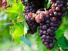 Want to go on a day trip or weekend getaway and enjoy a great wine tasting? NJ has plenty of vineyards, wineries and wine bars to discover. Wine Tasting Course, Wine Tasting Notes, Fruit Bearing Trees, Sacred Garden, Vides, Grape Seed Extract, Wine Deals, Agriculture Biologique, Still Life