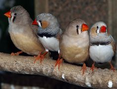The Zebra Finch, , is the most common and familiar estrildid finch of Central Australia and ranges over most of the continent, avoiding only the cool moist south and the tropical far north.