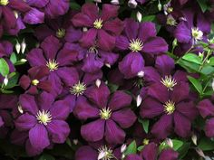 Niobe Clematis: Pruning not needed but remove deadwood in early Spring.