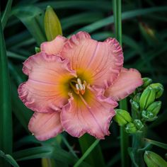 Hemerocallis 'Seminole Wind' | Flickr - Photo Sharing!