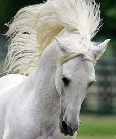 Andalusian stallion, Hereje.