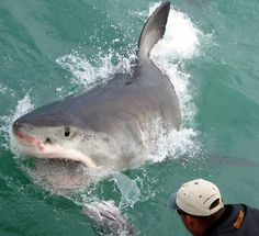 #White #Shark #Encounters