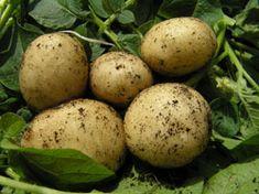 Wer seine Kartoffelernte vorverlegen möchte, der kann die Kartoffeln auch vorkeimen. Wie und wann man das macht erfahren Sie hier.Ertrag um 20 Prozent steigern Wer seine Kartoffeln vorverlegen möchte und sie vorkeimt, der wird seinen Ertrag um bis zu 20 Prozent steigern können, denn Kälte macht den Kartoffeln nichts aus. Sie wachsen dennoch weiter. Wenn Sie Ihre Kartoffeln vorkeimen möch ...