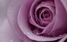 Fresh lavender roses to pretty up a room! Blue Flower Pictures, Flower Art Images, Lavender Roses, Purple Roses, Pink Purple, Blue Flowers, Rogue Fairy Tail, Girl Wallpaper, Flower Wallpaper