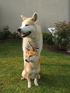 Shiba inu (one i like) and akita inu to give u a size comparison I like the little one Shiba Inu, Chien Akita Inu, Japanese Akita, Japanese Dogs, Best Dog Breeds, Best Dogs, Japanese Dog Breeds, American Akita, Hachiko