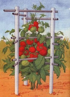 The recycled,  indestructible, easy to water tomato cage for the rest of your life tomato cage.