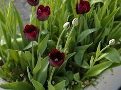 Tulip Ronaldo: April 35cm
