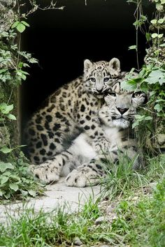 snow leopard cub and mom by Robert Duben I Love Cats, Big Cats, Cute Cats, Cats And Kittens, Animals And Pets, Baby Animals, Funny Animals, Cute Animals, Beautiful Cats