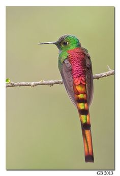 Red-Tailed Comet Hum beautiful amazing /  EXTREME BEAUTY HUMMINGBIRDS