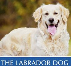 The Labrador Dog. A vet's guide on how to care for your Labrador dog Animal Tattoos, Labrador, Dog, Pets, Animals, Diy Dog, Animales, Animaux, Labradors