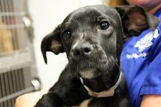 ***6/21/14 LISTED RUNNING OUT OF TIME @ GREENVILLE HIGH KILL!!***Coach: Beautiful black retriever mix available at high-kill upstate shelter