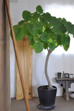 HADANA 葉棚の葉っぱのはなしはじめます。:フィカス ウンベラータ