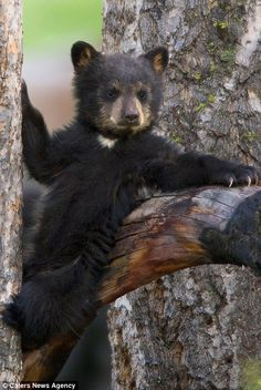 Photographer Ken Archer, 51, captured the adorable cub with it's mother in the Rocky Mountains in Wyoming.