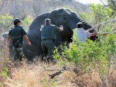 Tourism gone wrong: Elephant put down after Kruger Park attack - Mpumalanga | IOL News | IOL.co.za