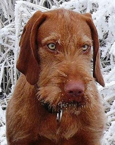 hungarian wirehaired vizsla Archives - ohmidog!