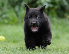 Black German Shepherd - 27 Pictures #Puppies #Animal