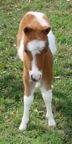 miniature horses for sale - page 205 Cute Baby Animals, Farm Animals, Miniature Horses For Sale, Mini Horses, Miniture Things, Animal Paintings, Cute Babies, Cow, Miniatures