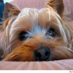 I want one...Silky Terrier