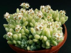 Sedum hintonii is an attractive, slow growing, mat forming succulent plant, up to 8 inches (20 cm) tall. The leaves are small, light green...