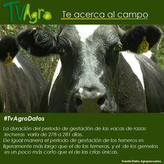 #TvAgroDatos Tiempo de gestación del ganado lechero.